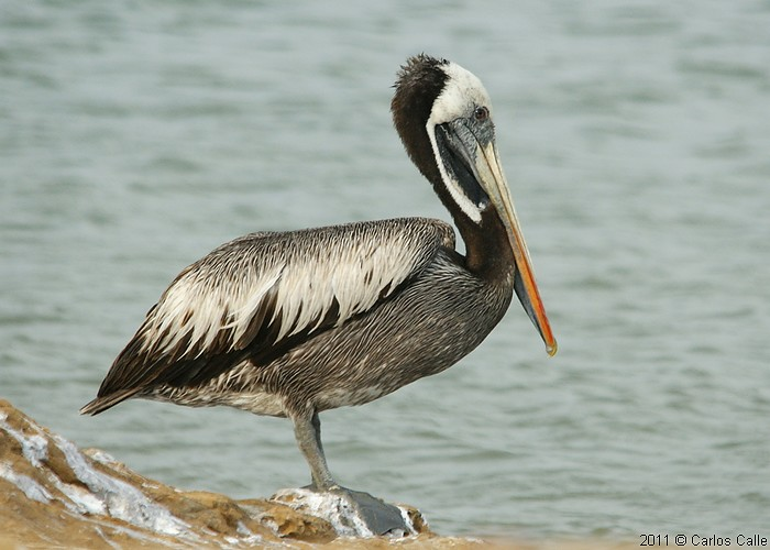 Pelicano peruano peruvian pelican pelecanus thagus - Fotos de pelicanos ...